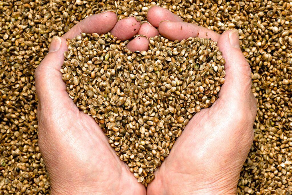 Graines de chanvre bio V21